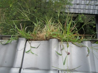 溜まった汚れから雑草が生えた軒樋