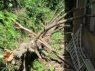 裏山の松の木倒木