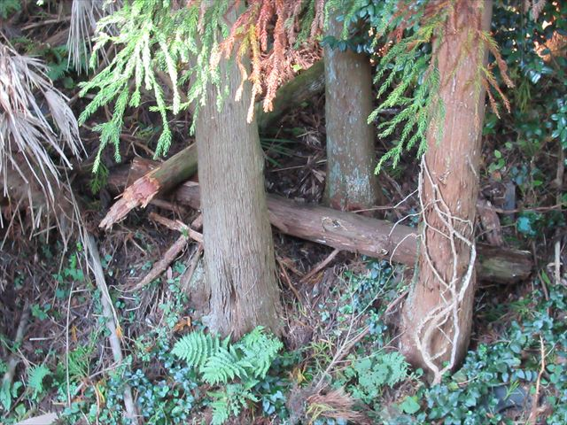台風で倒れた杉の木
